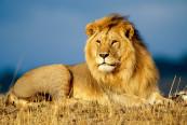 Vanatoarea de lei - Africa