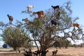 capre cataratoare