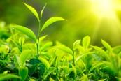 energie pe baza de plante