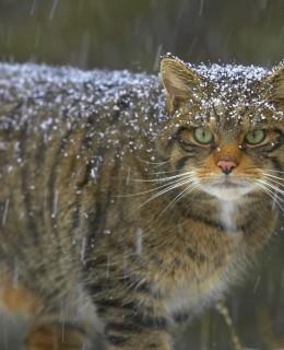 pisicile salbatice